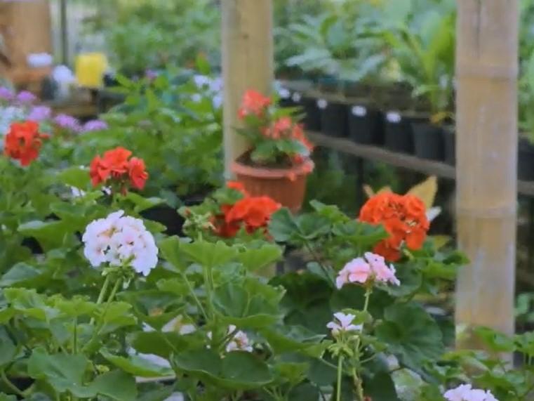 Kisah Sukses Berkebun Bunga Telang