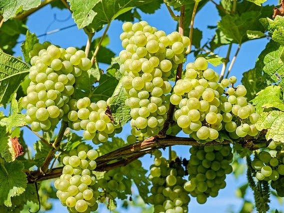 Petani Ini Berhasil Mengembangkan Tanaman Anggur Impor