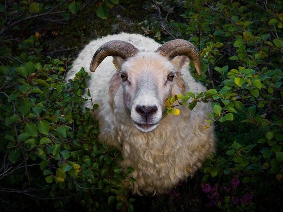 Perempuan Ini Memilih Jadi Peternak Domba Ketimbang Dosen