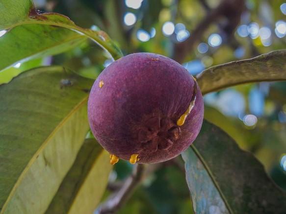 Cerita Sukses Petani Sukabumi Berkebun Manggis